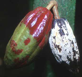 cacao yield assay